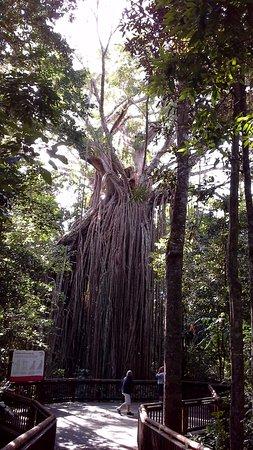 Yungaburra, ออสเตรเลีย: Curtain Fig Tree