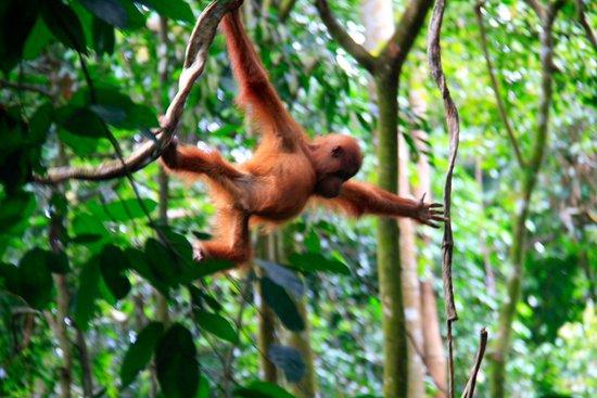 Sumatra Orang Utan Treks