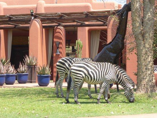AVANI Victoria Falls Resort: The local zeras grazing in the grounds.