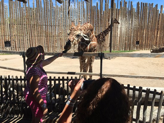 ABQ BioPark Zoo: Feeding the Giraffes