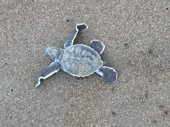 Tortuguero, Costa Rica: Green Sea Turtle Hatchling