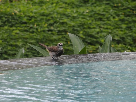 KajaNe Yangloni Private Boutique Health & Leisure Centre: Bird visiting the pool.