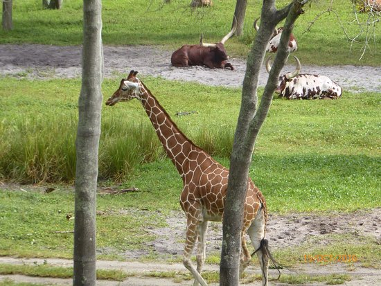 Disney's Animal Kingdom Villas - Kidani Village: photo0.jpg