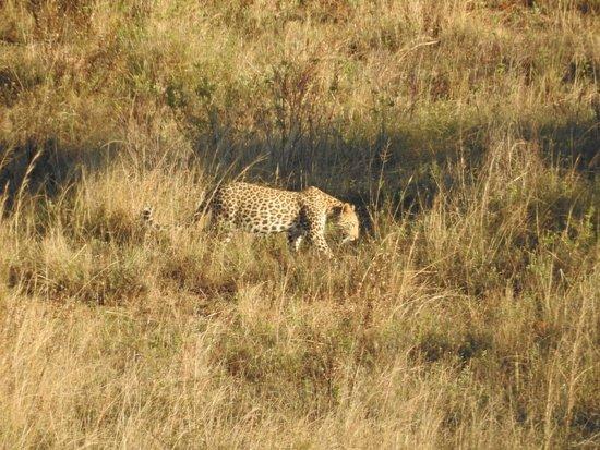 KwaZulu-Natal, แอฟริกาใต้: Luipaard