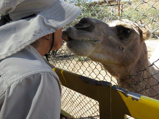 "Camp Verde, AZ: ""Kissing"" a camel at Out of Africa, Verde Valley, AZ"