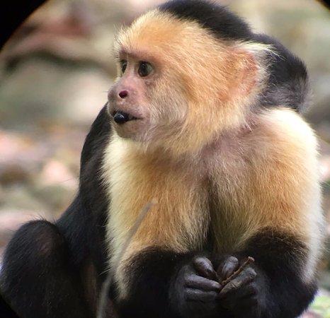 Puerto Jiménez, Costa Rica: Mono Capuchino con su cria a la espalda
