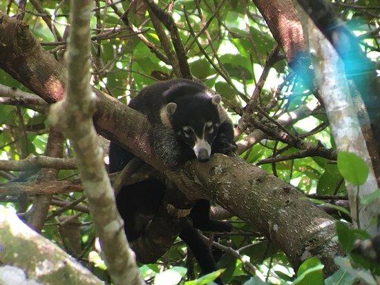 Puerto Jiménez, Costa Rica: Pizote.