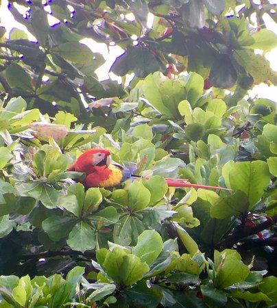Puerto Jiménez, Costa Rica: Guacamayos.