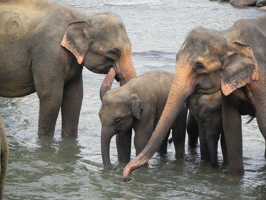 Pinnawala, Sri Lanka: coccole e tenerezze tra elefanti