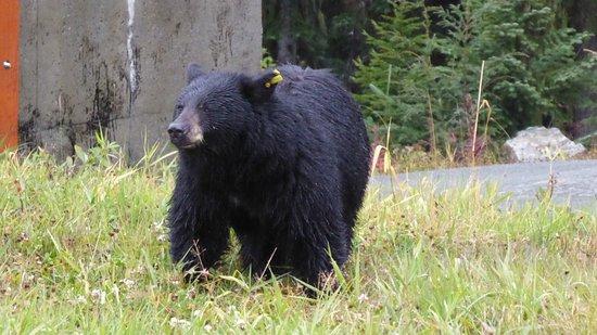 Whistler Blackcomb -Bear Viewing & Ecology Tours- Day Tours: Bear on Whistler Mountain