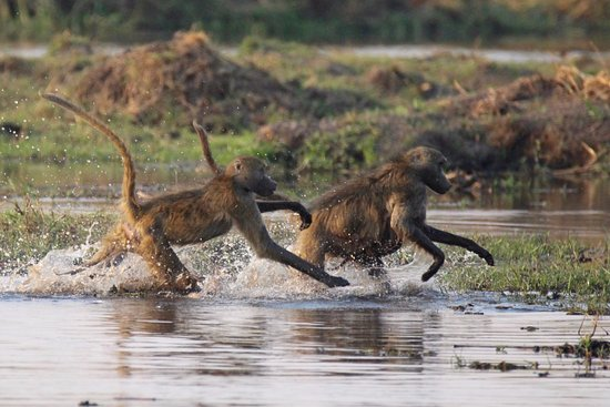 Linyanti Bush Camp: Linyanti, Baboons in panic to get safely across the water
