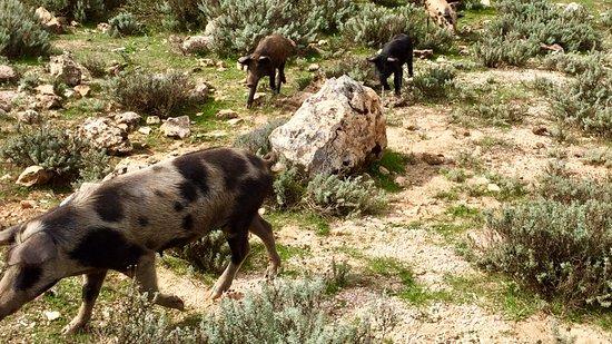 Urzulei, Italien: Wild boars everywhere