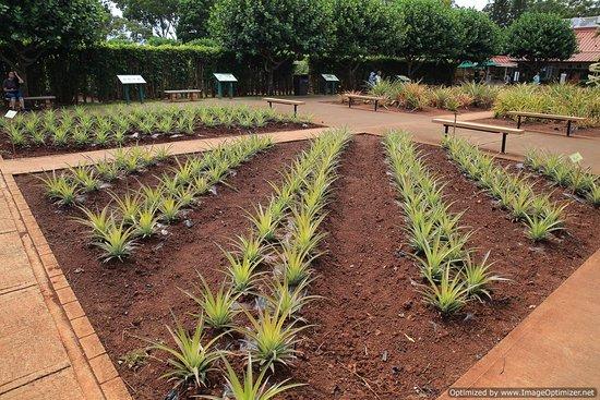 Wahiawa, Χαβάη: pineapple garden