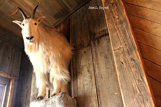 Livery Stable: Stuffed Mountain Goat