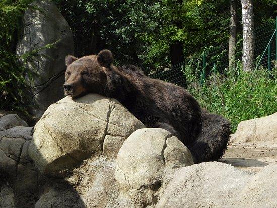 Brno, Czech Republic: Kavkazský medvěd