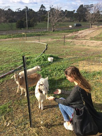 Cambridge, Australien: Tending the goats