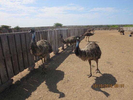 Aves Gigantes de Peru