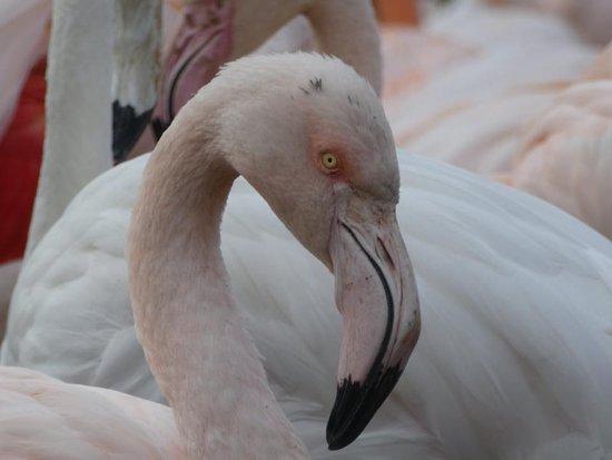 Slimbridge, UK: Flamingo