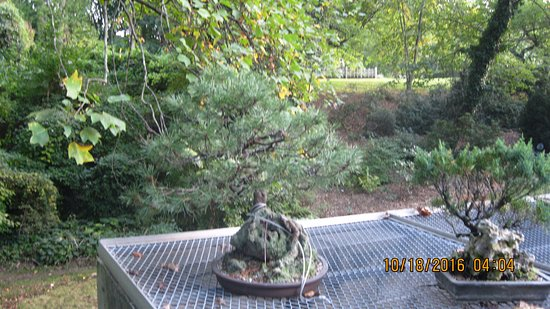 Middletown, Nueva Jersey: There are quite a few Bonsai's