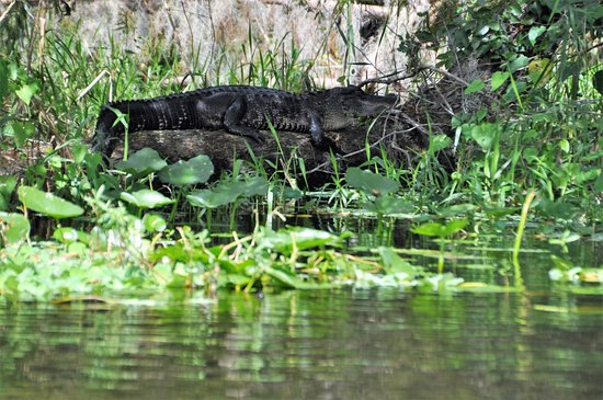Eustis, Φλόριντα: Saw several animals - Gators as a Highlight
