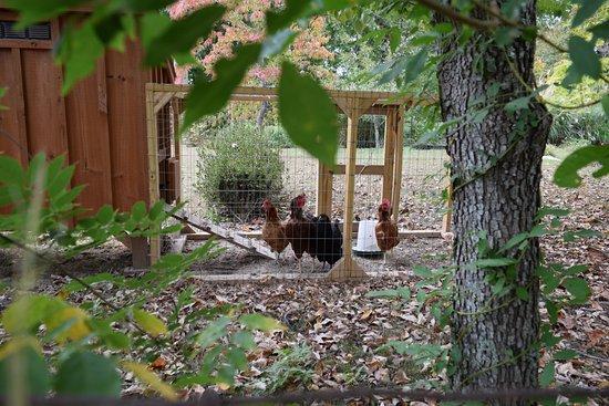 Hampshire, TN: Chickens provide fresh eggs for breakfast.