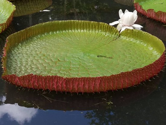 Мока: Water lilies at pamplemousses botanical garden