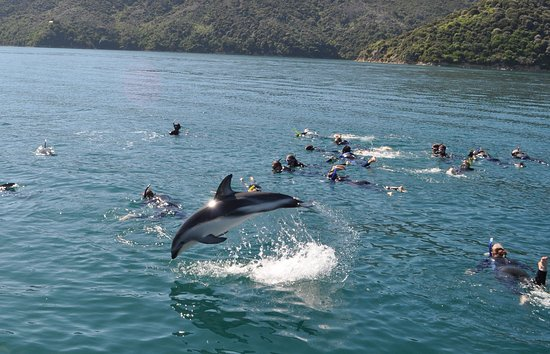 Picton, Nova Zelândia: Just your average dolphin swim in the Queen Charlotte Sound