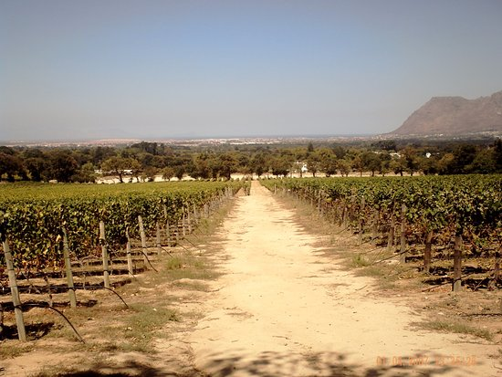 Constantia, Sudáfrica: Road in vineyard.