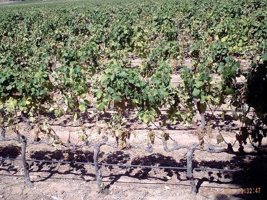 Констанция, Южная Африка: Vineyards.