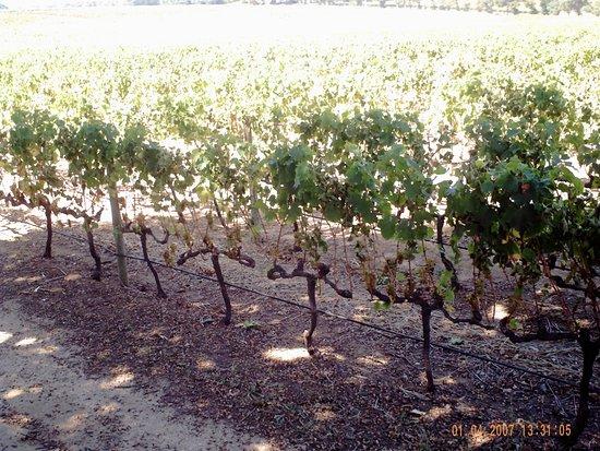 Constantia, Südafrika: Close up of grape vines.