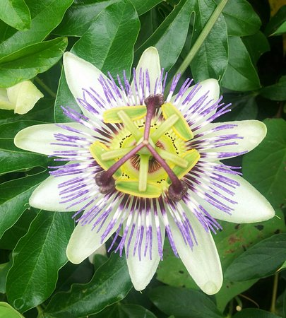 Worcester, UK: A passionflower I spotted in the Diglis Basin (Joy Madden)