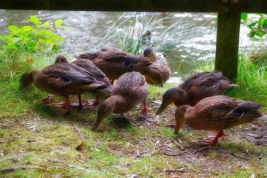 Dungannon, UK: Feeding Ducks