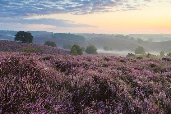 Rheden, Países Bajos: Prachtige heidevelden in augustus en september!