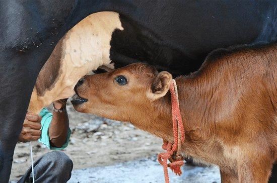 Delhi, แคนาดา: Our 16 day old calf suckling
