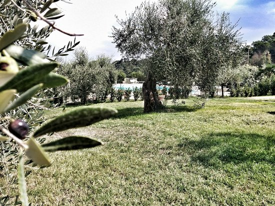 Castel San Gimignano, Italia: gli ulivi