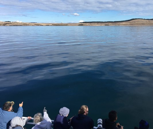 Anacortes, WA: spotting the Minke whale in the distance