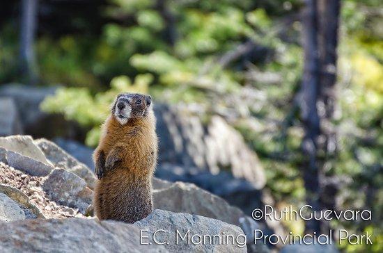 Manning Park, Canada: marmota Horay