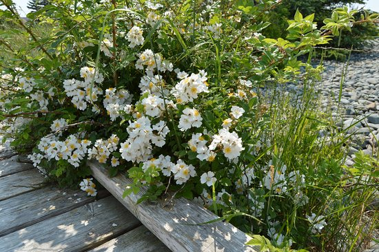 Eastern Passage, Canadá: Flowers along the boardwalk at McCormacks Beach