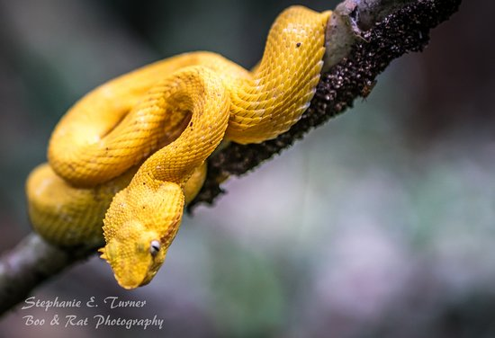 Manzanillo, Costa Rica: Golden Morph Eyelash Viper