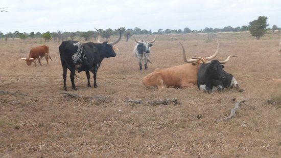 Charters Towers, Australia: The cattle