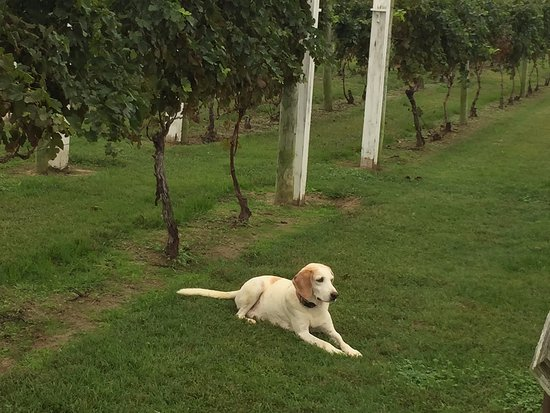 Irvington, VA: One of the winery dogs, keeping watch over the vines.