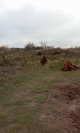 Voornes Duin: buffels