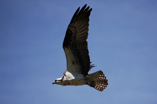 Gardiner, MT: An osprey in flight in Yellowstone National Park.