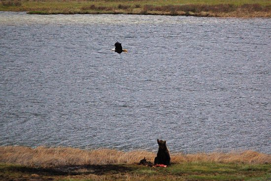 Gardiner, MT: A Bald Eagle swooping a Grizzly Bear on a carcass in Yellowstone National Park.