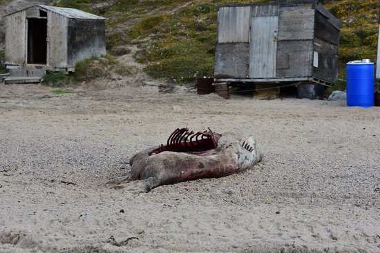 Baffin Island: A seal was being harvested at the beach