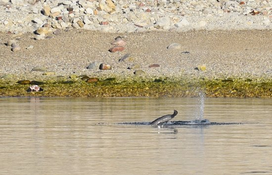 Baffin Island: Narwhal fluke - best that my 400mm lens could do!
