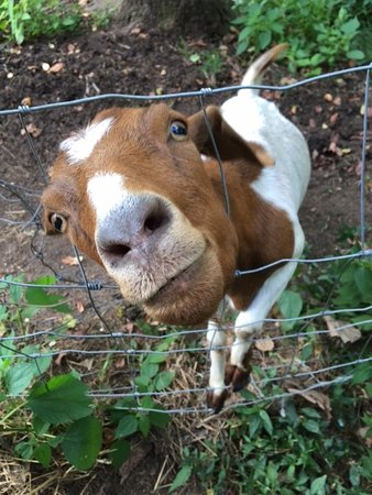 Vanquility Acres Inn: the friendly goat