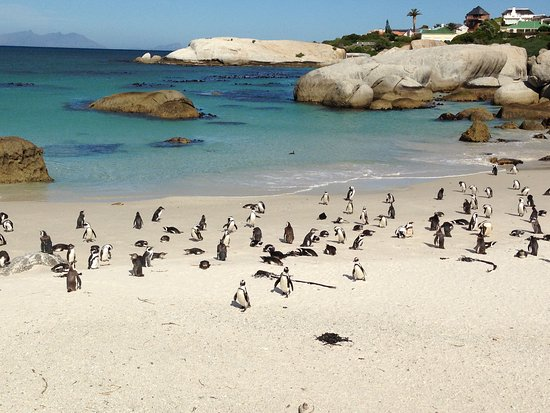 Randy's Private Day Tours : We visited the colony of Jackass penguins near Simonstown within the stretch of the coast charac