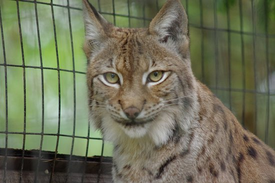 Roanoke, VA: Bobcat