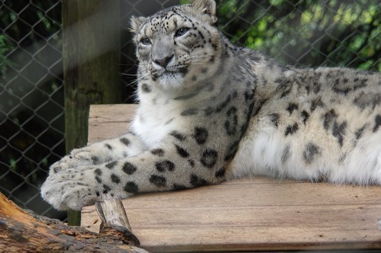 Roanoke, VA: Snow Leopard